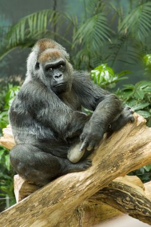 lowland: Endangered Western Lowland Gorilla