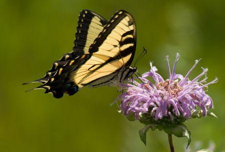 Old World Swallowtail (Papilio machaon)