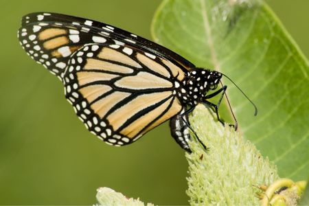 viceroy: Viceroy Butterfly (Limenitis archippus) sitting on top of a thistle with wings closed