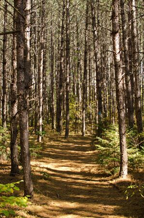 state of wisconsin: Jones Spring Area trail through sprouce forest in Chequamegon-Nicolet National Forest, Wisconsin, USA