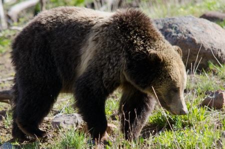 yellowstone: A grizzly bear roaming at the forest edge in Yellowstone National Park, Wyoming, USA
