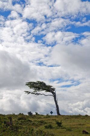Wind-bent flag tree in Fireland  Tierra Del Fuego , Patagonia, Argentina photo