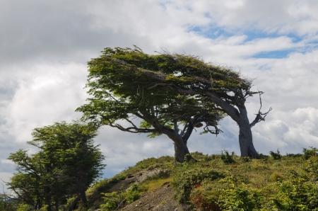 fuego: Wind-bent flag trees in Fireland  Tierra Del Fuego , Patagonia, Argentina Stock Photo