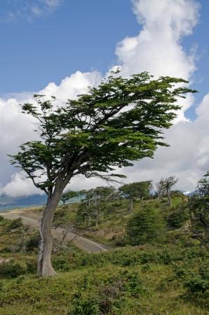 fuego: Wind-bent flag tree in Fireland  Tierra Del Fuego , Patagonia, Argentina