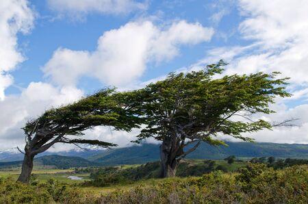 tierra: Wind-bent trees in Fireland  Tierra Del Fuego , Patagonia, Argentina