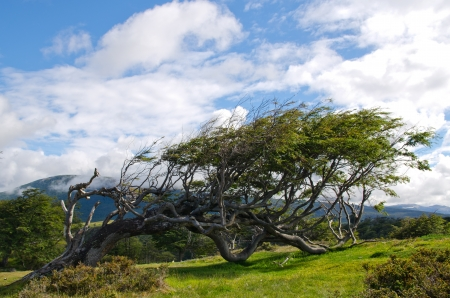 The most famous flag tree in Fireland  Tierra Del Fuego , which can be found on many post cards in Patagonia, Argentina