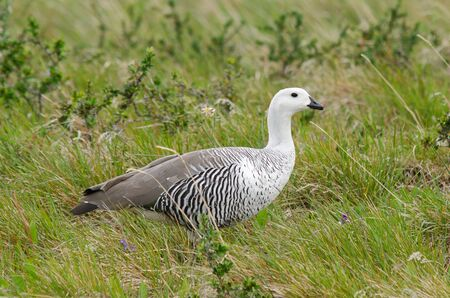 Male Magellan or Upland Goose  Chloephaga picta  in Torres Del Paine National Park, Patagonia, Chile photo