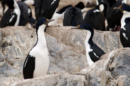 phalacrocorax atriceps: Imperial Shag  Phalacrocorax atriceps , also known as blue-eyed Cormorants made a little islet in the Beagle Channel near the City of Ushuaia their breeding place  Patagonia, Argentina Stock Photo