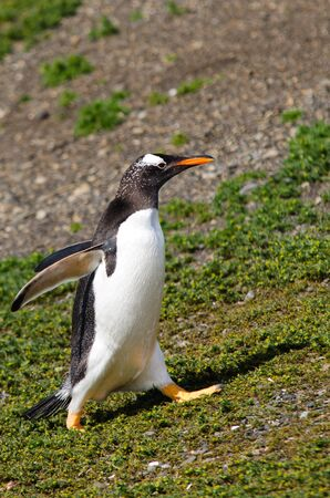 A Gentoo Penguin  Pygoscellis papua  running back to its breeding place on Martillo Island in the Beagle Channel, southern Patagonia, Argentina