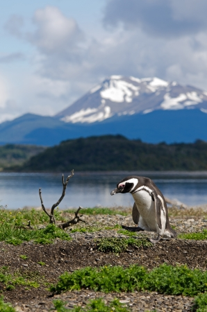 tierra: A Magellanic Penguin  Spheniscus magellanicus  on Martillo Island in the Beagle Channel, southern Patagonia, Argentina