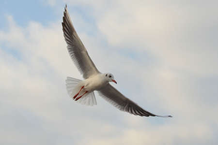 wingspread: Seagull Flying, Seagull, Gull Stock Photo