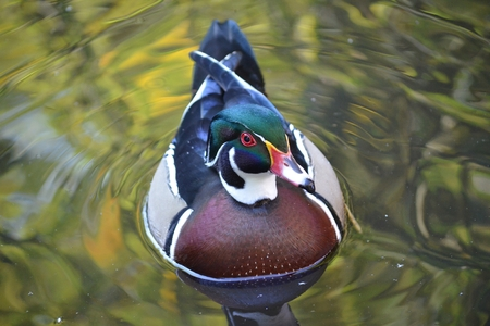domestic duck: Male wood duck on green water, Duck swimming
