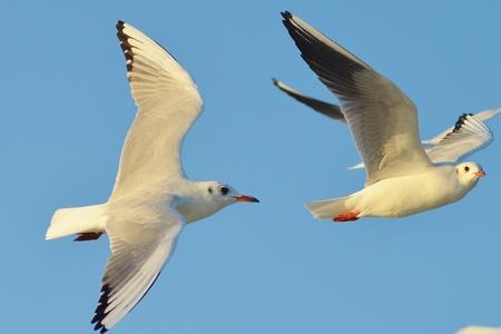 wingspread: Seagull flying blue sky