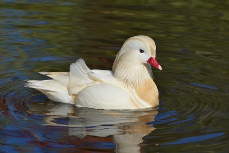 wild silky white: White Mandarin Duck swimming Stock Photo