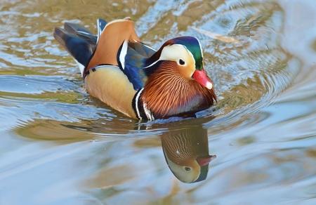 Mandarin duck swimming photo