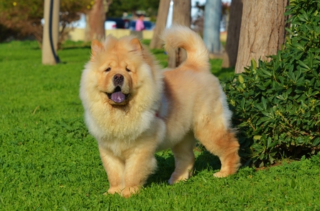 Chines chow chow dog isolated on green grass Standard-Bild