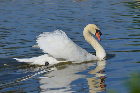 wild silky white: Swan on Water Stock Photo