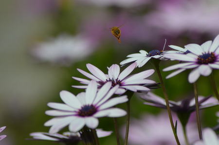 bee on flower: Bee on Flower, Bee Flying