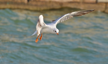 wingspread: Seagull flying and landing on sea