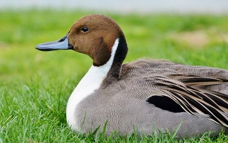 waterbird: Duck on Grass