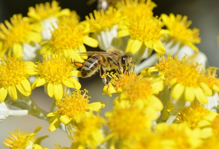 Honey Bee on a Yellow Flower  Nature Abstract
