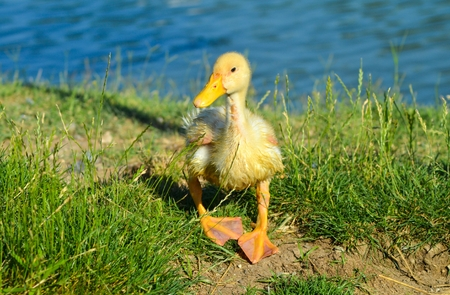 yellow duckling: Little yellow duckling walking on grass Stock Photo