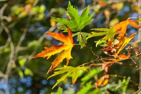 fig leaf: Fig leaf in autumn
