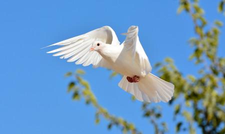 paloma blanca: Paloma blanca volando con las alas abiertas, Paloma en el aire con las alas abiertas en frente del cielo azul Foto de archivo
