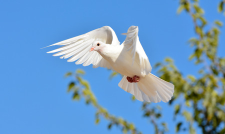 white wallpaper: White pigeon flying with open wings, Dove in the air with wings wide open in-front of the blue sky