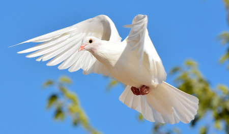palomas volando: Paloma blanca volando con las alas abiertas, Paloma en el aire con las alas abiertas en frente del cielo azul Foto de archivo