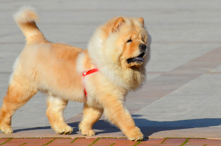 Chinese chow chow dog is walking isolated