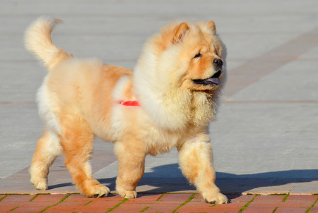 chow: Chinese chow chow dog is walking isolated