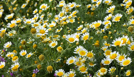 greeen: Field of daisy flowers with yellow, white and greeen colours.