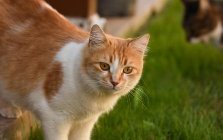 Cat standing on green grrass.