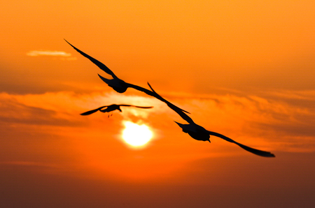 Seagulls flying at sunset sky, silhouette. Sun between clouds and seagulls flying. Фото со стока