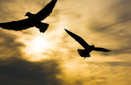 winger: Seagulls flying at sunset sky, silhouette. Sun between two seagull flying clouds. Stock Photo