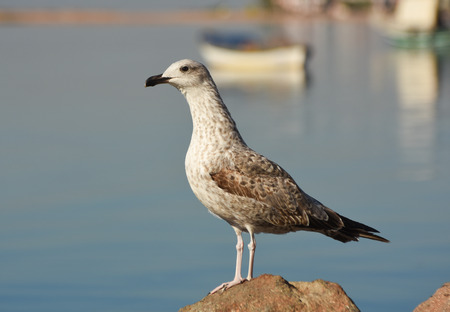 winger: Seagull standing on a rock near the sea.