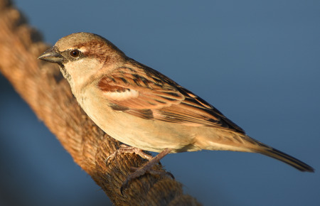 winger: Sparrow standing on brown rope, isolated, closeup. Stock Photo