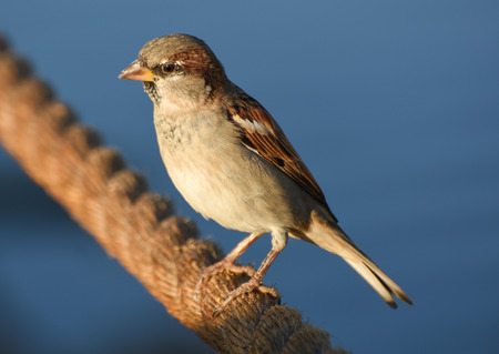 Sparrow standing on brown rope, isolated, closeup. Stock Photo