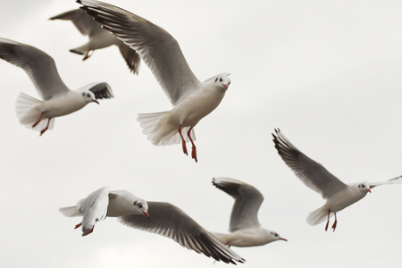 Seagulls flying with open wings over sky with clouds. Stock Photo