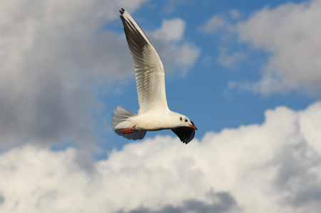Seagull flying over cloudy blue sky with open wings. Stock Photo