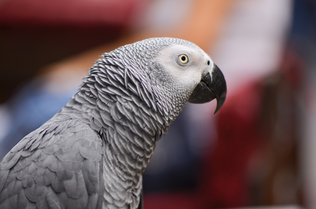 pete: Portrait of an Congo African Grey Parrot (Psittacus Erithacus Erithacus)