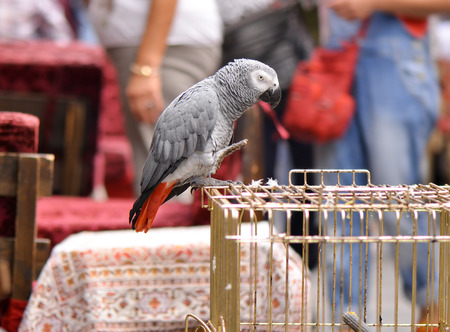 pete: Congo African Grey Parrot standing on the cage (Psittacus Erithacus Erithacus)