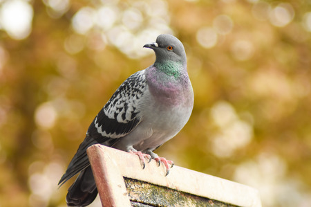 Pigeon standing on a wood, isolated, closeup.