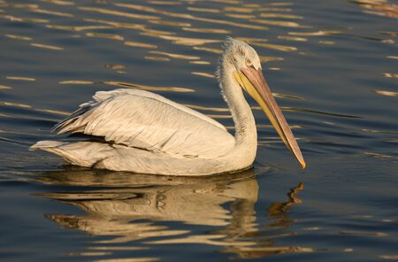 winger: Pelican swimming on the blue sea.