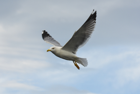 winger: Seagull flying in blue cloudy sky with open wings. Stock Photo