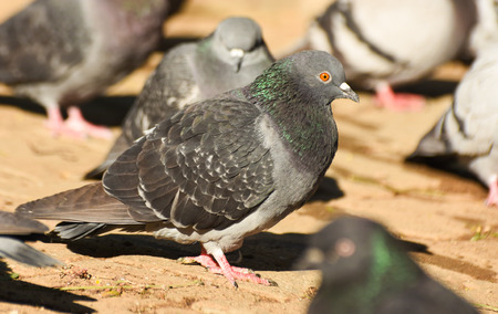winger: Pigeon standing, closeup, isolated.