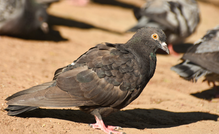 winger: Pigeon standing on sand, closeup, isolated. Stock Photo