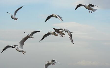 winger: Seagulls flying in blue sky with open wings.