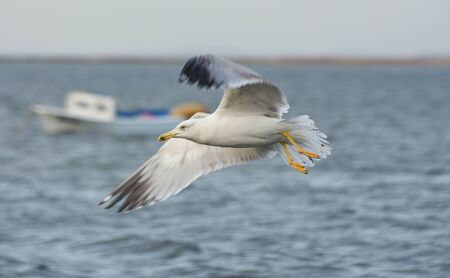 winger: Seagull flying with open wings on the sea.